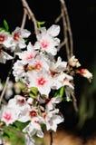 Flores de la almendra Fotografía de archivo