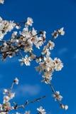 Flores de la almendra Imagen de archivo libre de regalías