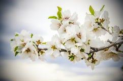 Flores de la almendra Imagen de archivo