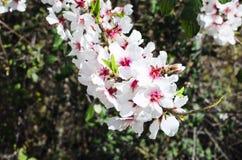 Flores de la almendra Imágenes de archivo libres de regalías