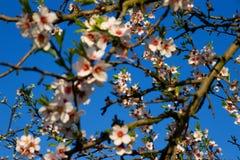Flores de la almendra Fotos de archivo libres de regalías