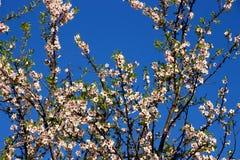 Flores de la almendra Fotografía de archivo libre de regalías