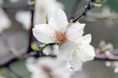 Flores de la almendra con descensos Fotografía de archivo libre de regalías