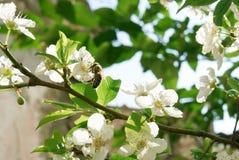 Flores de la almendra con la abeja Imágenes de archivo libres de regalías