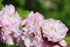 Flores de la almendra de la primavera Fotografía de archivo libre de regalías