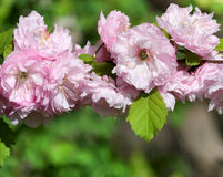 Flores de la almendra de la primavera Foto de archivo libre de regalías