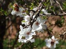 Flores de la almendra en Marruecos Imagen de archivo libre de regalías