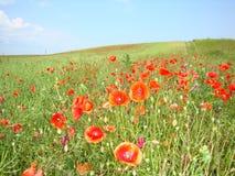 Flores de la amapola Fotografía de archivo libre de regalías