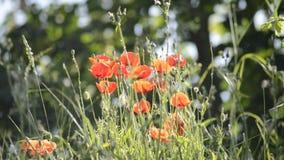 Flores de la amapola almacen de metraje de vídeo