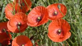 Flores de la amapola metrajes