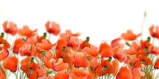 Flores de la amapola foto de archivo libre de regalías