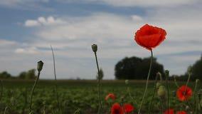 Flores de la amapola contra el cielo azul almacen de metraje de vídeo