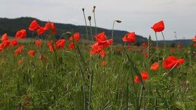 Flores de la amapola contra el cielo azul almacen de video