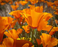 Flores de la amapola de California Imagen de archivo libre de regalías