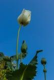 Flores de la amapola de opio Imágenes de archivo libres de regalías