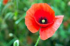 Flores de la amapola del flor Imagenes de archivo