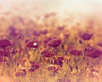 Flores de la amapola del prado Imagen de archivo libre de regalías