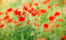 Flores de la amapola del prado Foto de archivo libre de regalías