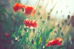 Flores de la amapola que florecen en el campo Imagen de archivo libre de regalías