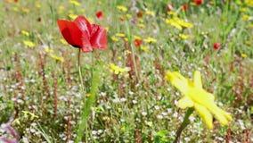 Flores de la amapola roja en un campo almacen de video