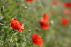 Flores de la amapola un prado verde imágenes de archivo libres de regalías