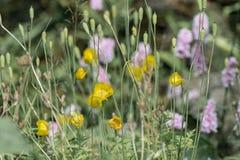 Flores de la amapola y cabezas de la semilla Fotografía de archivo libre de regalías