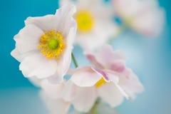 Flores de la anémona Fotografía de archivo libre de regalías