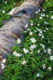 Flores de la anémona de madera en primavera Imagen de archivo libre de regalías