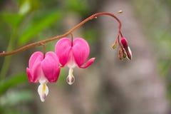 Flores de la angustia en el jardín Imagenes de archivo
