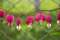 Flores de la angustia en el jardín Imagen de archivo libre de regalías