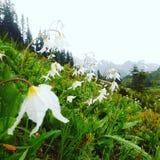 Flores de la avalancha Fotos de archivo libres de regalías