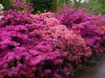 Flores de la azalea Imagen de archivo libre de regalías