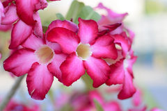 Flores de la azalea Foto de archivo libre de regalías