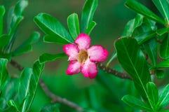 Flores de la azalea Imágenes de archivo libres de regalías