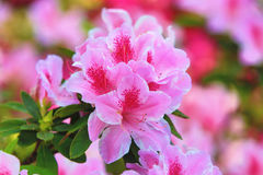 Flores de la azalea Fotos de archivo libres de regalías