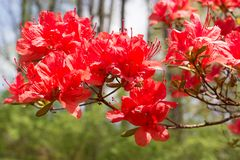 Flores de la azalea en primavera en un día soleado después de la lluvia fotos de archivo libres de regalías