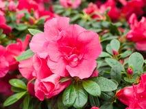 Flores de la azalea en un invernadero Imagenes de archivo