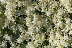 Flores de la baya del saúco Imágenes de archivo libres de regalías