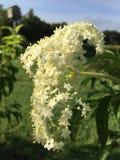 Flores de la baya del saúco fotos de archivo