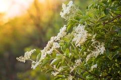 Flores de la baya del saúco en Bush en la puesta del sol Imagen de archivo libre de regalías