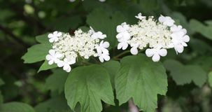 Flores de la baya del saúco negra almacen de metraje de vídeo
