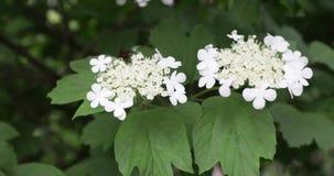 Flores de la baya del saúco negra metrajes