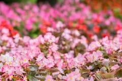Flores de la begonia coloreada Fondo rosado natural Fotos de archivo