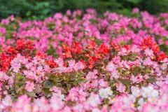 Flores de la begonia coloreada Fondo rosado natural Foto de archivo
