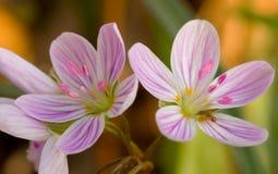 Flores de la belleza de resorte Fotos de archivo libres de regalías