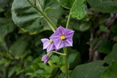 Flores de la berenjena Fotos de archivo
