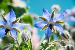 Flores de la borraja Fotografía de archivo libre de regalías