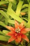 Flores de la bromelia en jardín en el parque Fotografía de archivo