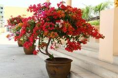 Flores de la buganvilla Foto de archivo libre de regalías