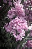 Flores de la buganvilla Fotos de archivo libres de regalías